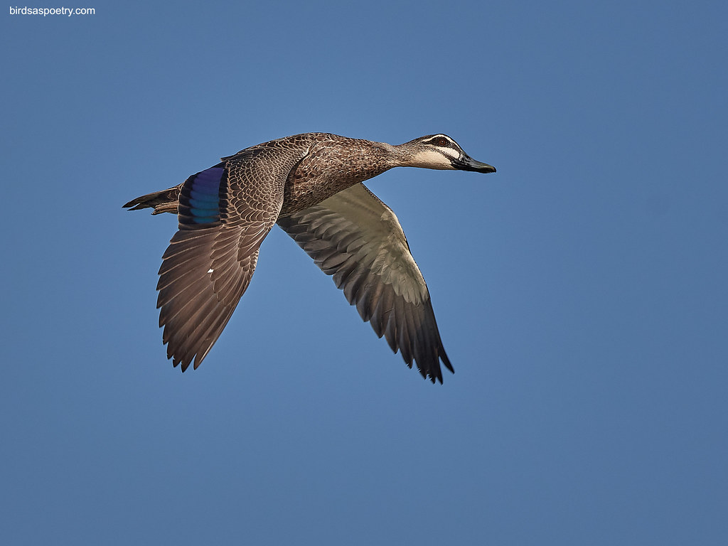 Pacific Black Duck: GT Stripe Duck Flyby
