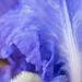 Blue Iris, 4.28.17