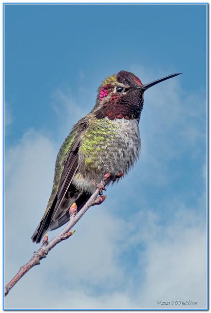 Anna,s-Hummingbird-Male3-2021