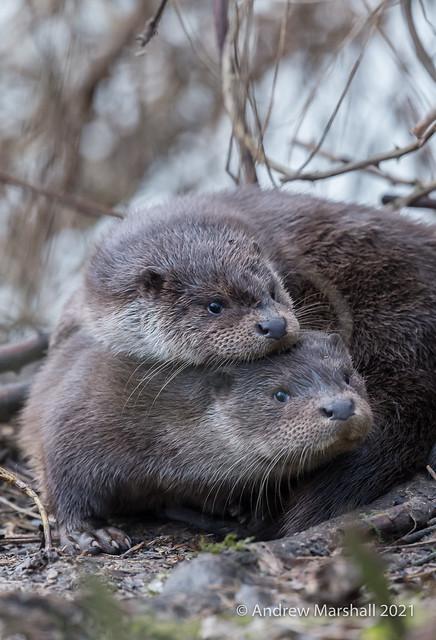 Otter cub cuddle up!