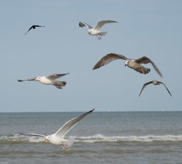 Zeemeeuwen - Seagulls