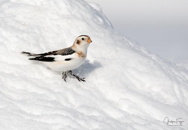 Plectrophane des neiges