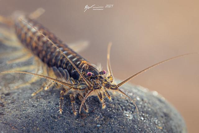 Richardsons Mountain Shrimp