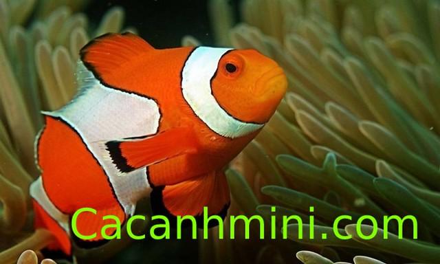 Những loài cá có khả năng chuyển đổi giới tính