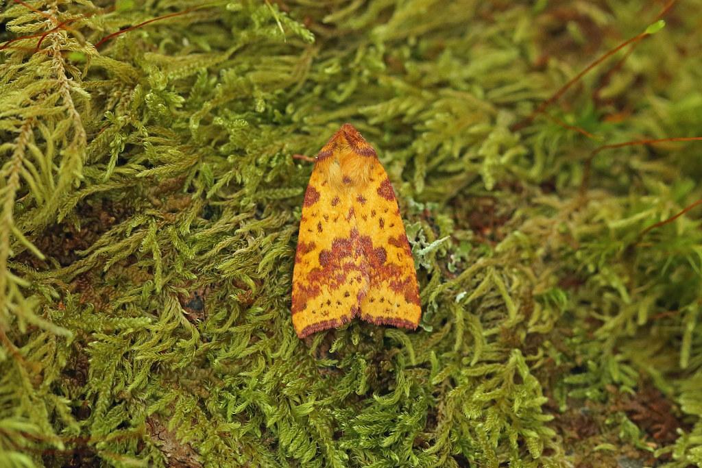 73.181 Pink-barred Sallow (Xanthia togata), Resipole, Argyll