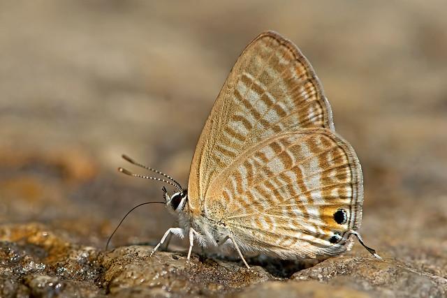 Lampides boeticus - the Peablue