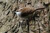 Treecreeper  Badock's Wood, Bristol   DSC06470