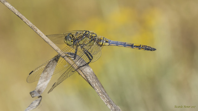 Orthetrum cancellatum. Young male.