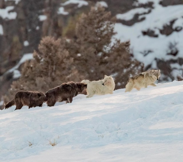 It's puppy making time in Yellowstone. The two center wolves are the alpha wolves of the Wapiti Lake pack. The white one is the female. The Wapiti pack is currently the largest pack in the park. February, 2021.