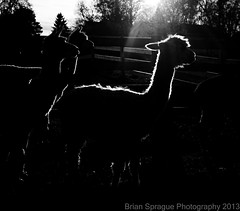 Alpacas - B&W - WM - Nov 2013 - bks-4849