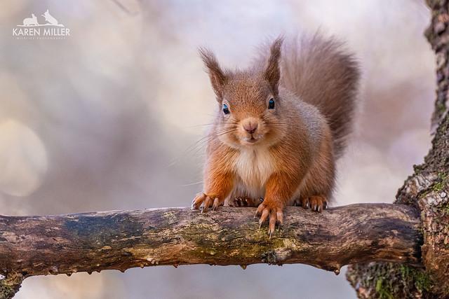 Woodland Red Squirrel