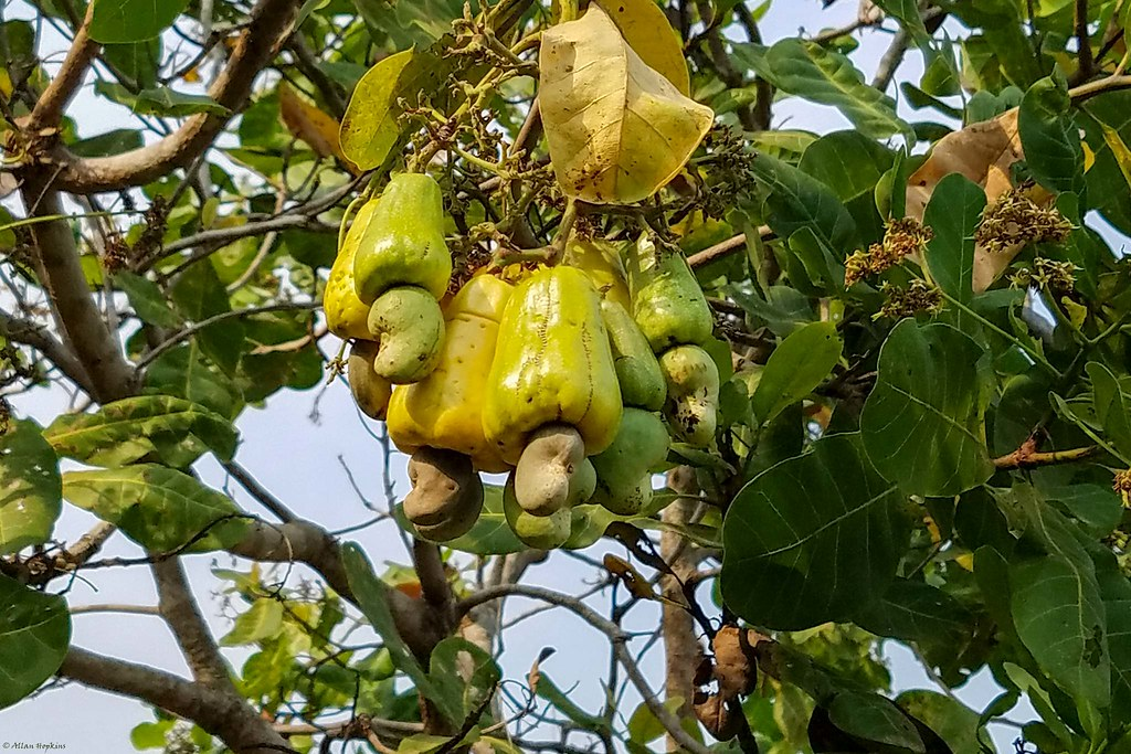 Cashew Tree (Anacardium occidentale)