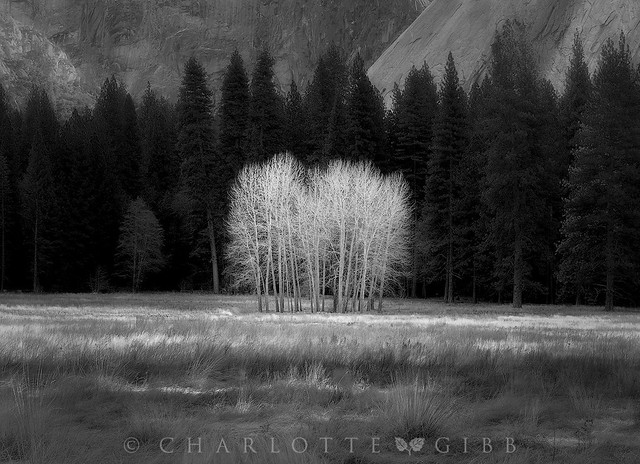 Ahwhanee Meadow Cottonwoods-in-black-and-white