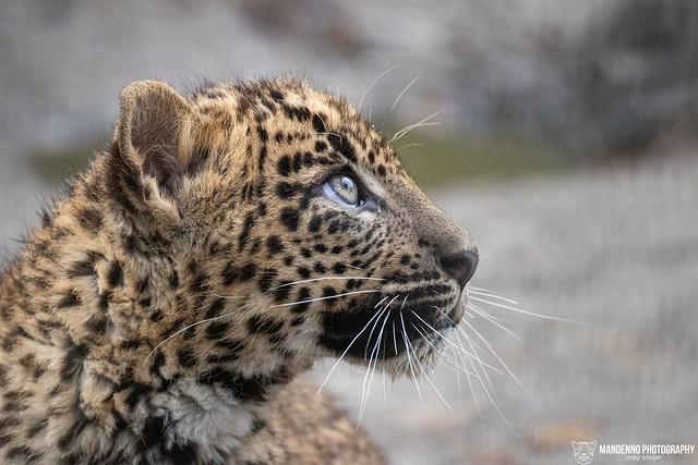 Sri Lanka Leopard Cub - Best Zoo - The Netherlands