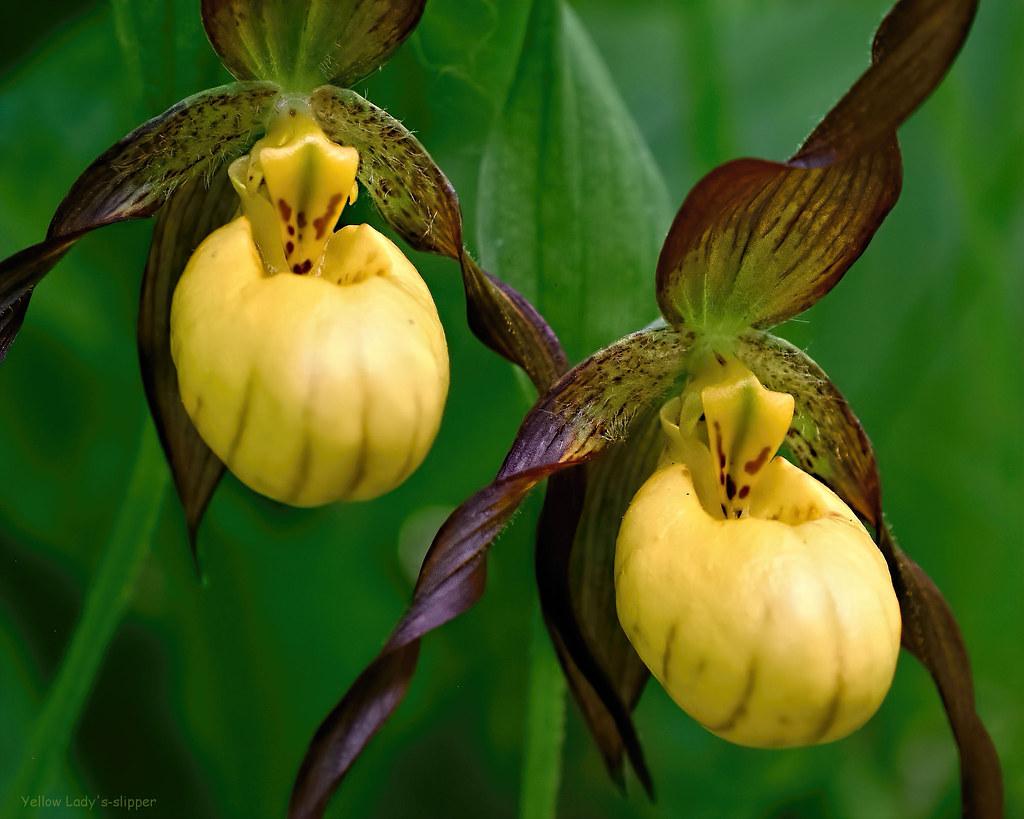 Yellow Lady's Slipper - Cypripedium parviflorum  -  Orchidaceae: Orchid Family
