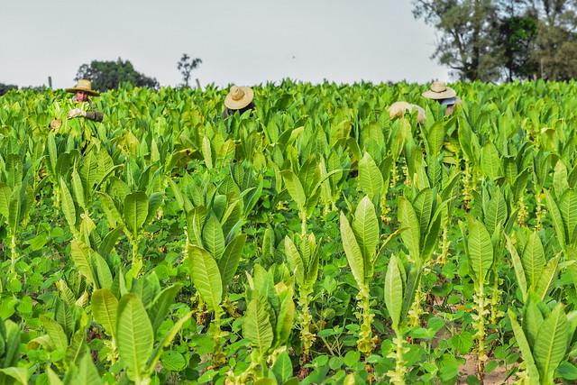 Cosecha de tabaco: trabajo rural
