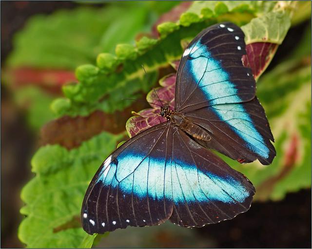 Achilles blue morpho