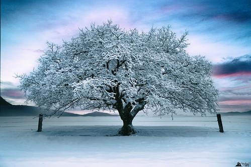 tree white baum schnee snow snowporn winter arbre neige sunset fence gurten bern switzerland rx100m3 rx100iii lewelsch lewelschphoto swissphotographers