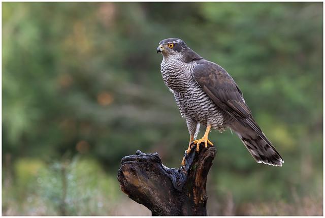 Northern Goshawk (male) - Havik (man) (Accipiter gentillis) ...