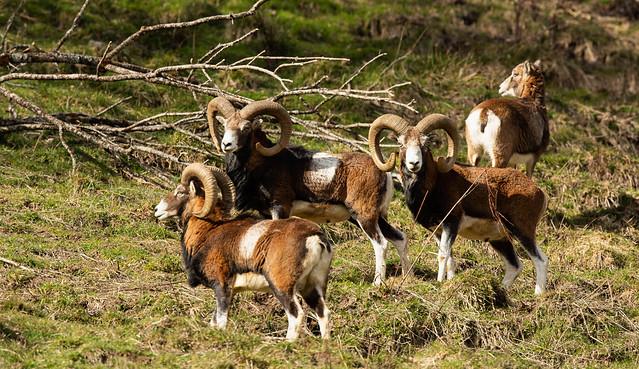 Groupe de mouflons (trois mâles et une femelle)