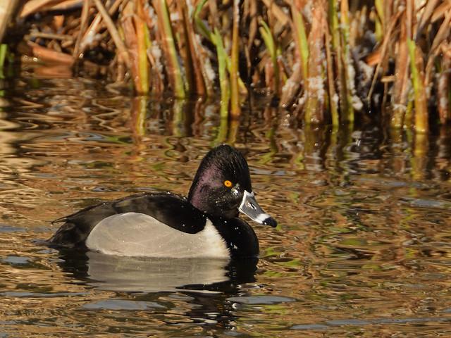 Ring-necked Duck, Bingham's Pond, Anniesland, Scotland