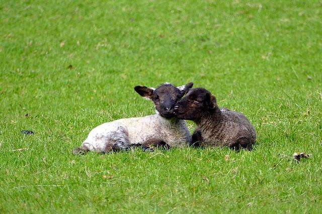 Ireland Cute Lambs Kiss Animals Valentines Day Warm Fuzzy Cute