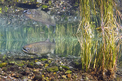 A Chinook salmon swims under the water