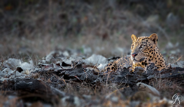 Indian leopard (Panthera pardus fusca)