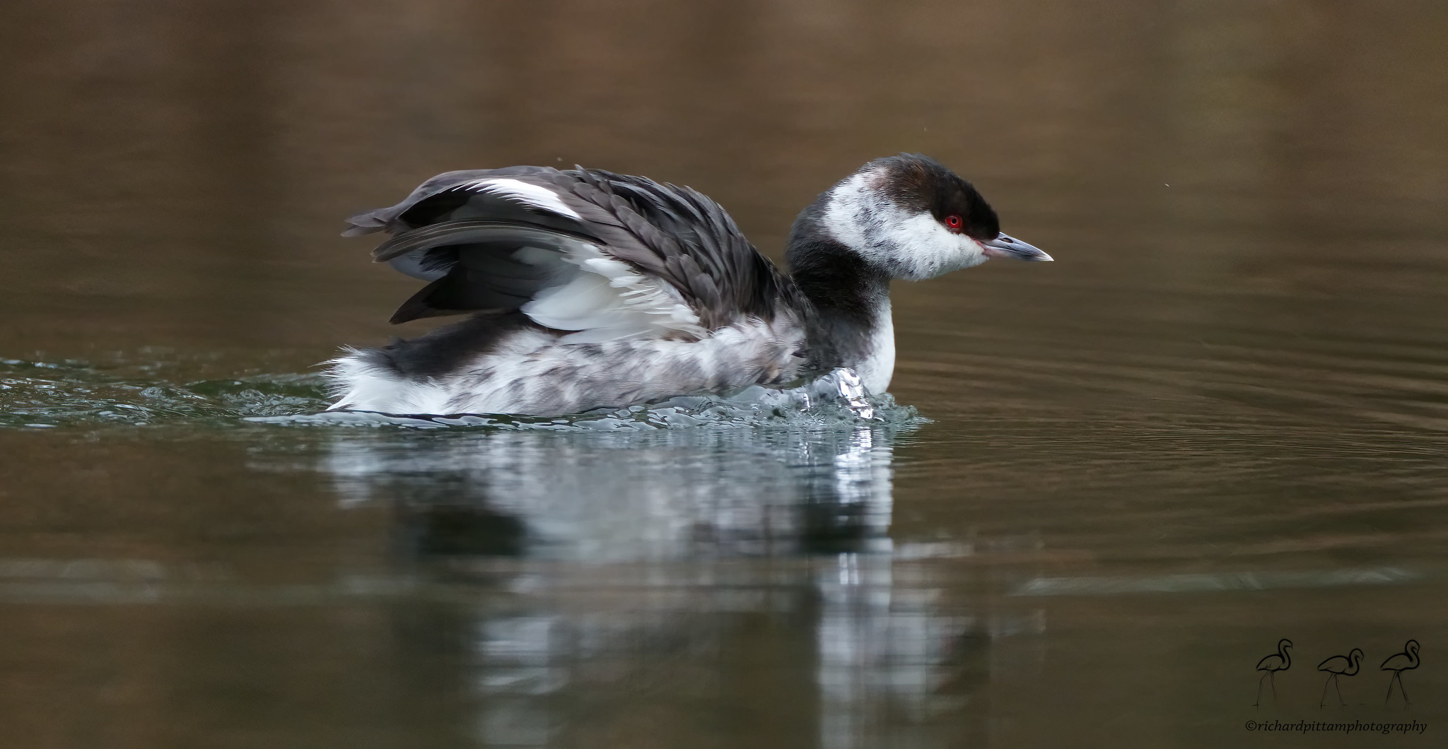 Slavonian Grebe - spent a bit of time with it - not every day one comes along...