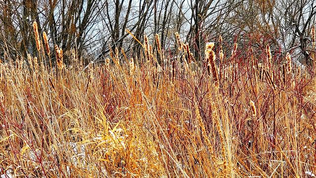Bulrushes and dogwood
