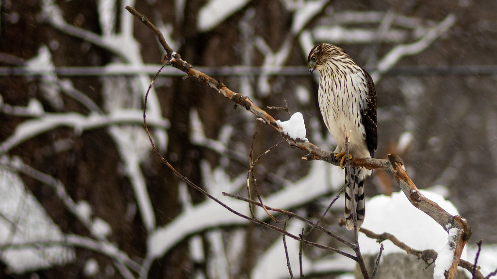 Juvenile Cooper Hawk in Snow Storm