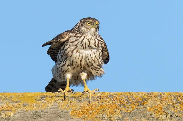 Immature Sharp-shinned Hawk (Accipiter striatus)