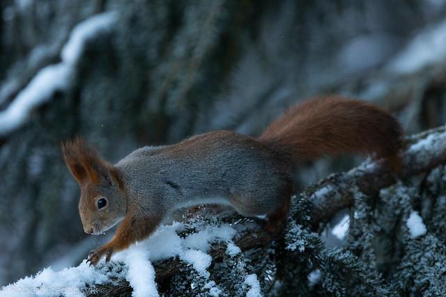 Ekorn - Squirrel