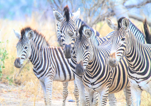 Zebra herd in South Africa