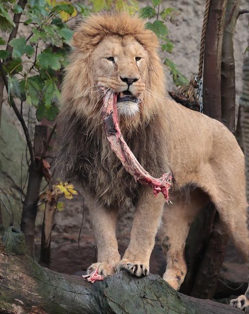 African lion Dembe Artis 9K2A3722