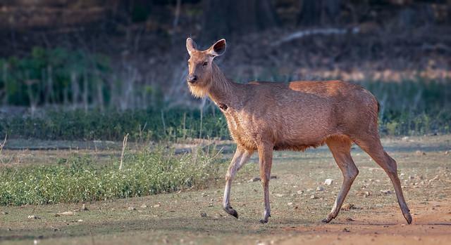 Sambar (Rusa unicolor) deer