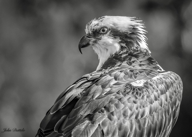 Ft. Pickens Florida Osprey