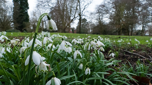 Snowdrops with distant view of Bantock House