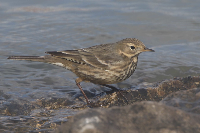 American Pipit - Anthus rubescens - ohio and licking Kenton County, Kentucky, USA - February 20, 2021