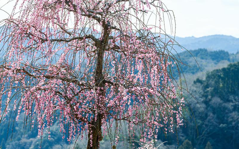 The plum tree blooms.
