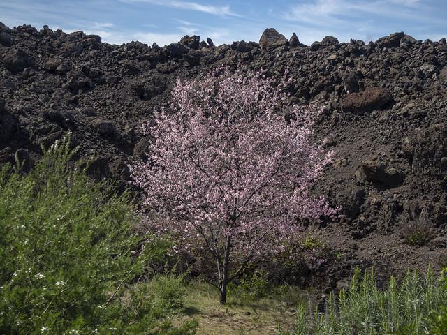 Almendro en flor al pie del volcán