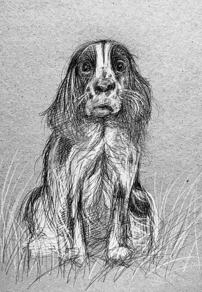 Portrait of LADDIE. A Cocker Spaniel, by jmsw in ballpoint pen and Derwent Lightfast white pencil on recycled card. Only on this site