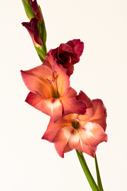 Gladioli — Just Getting Started