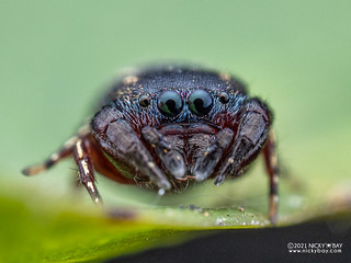Jumping spider (Rhene sp.) - P2204661