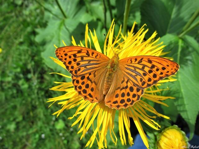 Butterfly 2069 (Argynnis paphia)