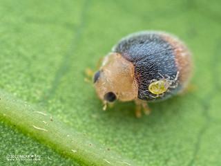 Ladybird beetle (cf. Sasajiscymnus sp.) - P2204692