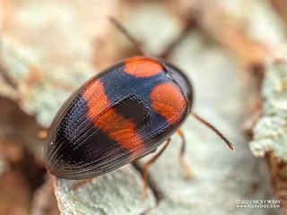Darkling beetle (cf. Amarygmus sp.) - P2214870