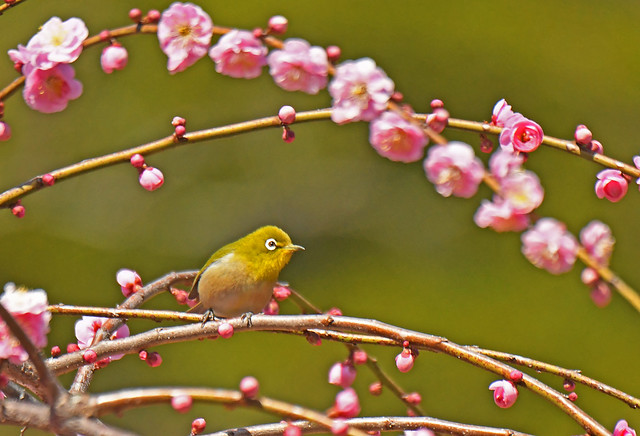 Japanese white-eye among pink flowers of weeping ume trees (1)