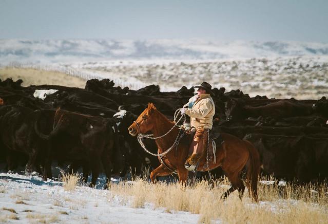 Wyoming cowboy herding beef cattle