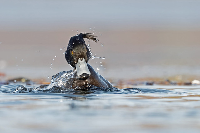 Reiherente / Tufted duck / Aythya fuligula
